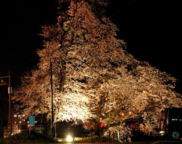 踏み切り 桜.jpg