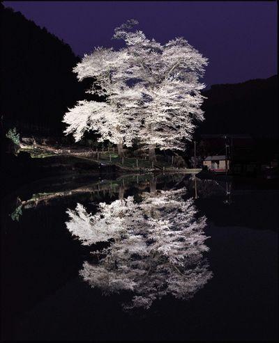 苗代桜2.JPG